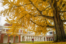 An enormous tree outside the Lawn in fall yellow